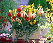 Tulipa 'The First' 'Abba' (Tulpen), Narcissus 'Jetfire' 'Tete a Tete'