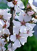 Prunus dulcis (Blüten von süßer Mandel)