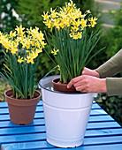 Narcissus 'Hawera' (Triandrus-Narzissen) tauchen