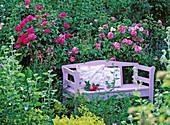 Lila gestrichene Holzbank vor historischen Rosen 'Rosa gallica