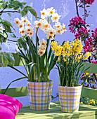 Narcissus 'Hawera' 'Geranium' (Narzissen) in karierten Töpfen