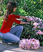 Verblühte Blüten von Rhododendron ausbrechen