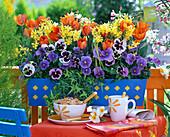 Narcissus 'Hawera' (Narzissen), Tulipa Prinzess Irene' (Tulpen)