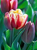 Tulipa 'Horizon' (gefüllte Tulpe)