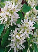 Blüten von Amelanchier laevis (Felsenbirne)