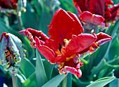 Tulipa 'Rokoko' (rote Papageientulpe)
