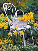 Weißer Metallstuhl im Beet mit Narcissus (Narzissen)