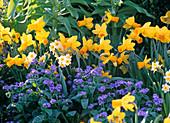 Frühlingsbeet mit Narcissus 'Jetfire' 'Minnow' (Narzissen)