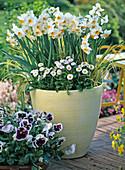 Hellgelber Kübel mit Narcissus 'Geranium' (duftende Narzissen) , Bellis