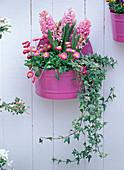 Hyacinthus 'Pink Pearl' (rosa Hyazinthen), Bellis