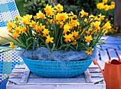 Flacher blauer Korb mit Narcissus 'Jetfire' (Narzissen)