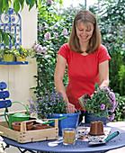 Blau gesprühten Ampeltopf bepflanzen: 2/3