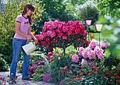 Frau gießt Beet mit Rhododendron, Azalea (Azalee), Chaenomeles