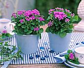 Ageratum (Leberbalsam) in blauen Übertöpfen auf kariertem Tischläufer