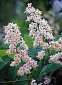Blüte von Aesculus hippocastanum (Roßkastanie, weiß mit rotem Auge)
