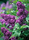 Blüten von Syringa vulgaris 'Andenken an Ludwig Späth' (Flieder)