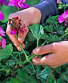 Ausbrechen verblühter Blütenstände bei Pelargonium (Geranie)