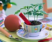 Coffea arabica (Kaffee) in Kaffeetasse, Sprühballon, kleine Schaufel