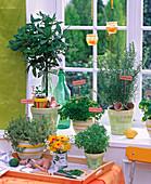 Kräuter auf der Fensterbank: Thymus (Thymian), Laurus (Lorbeer), Citrus