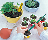 Sämlinge von Tagetes (Studentenblume) mit Pikierstab pikieren