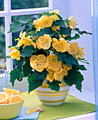 Gelbe Abutilon (Schönmalve) in geringeltem Übertopf am Fenster