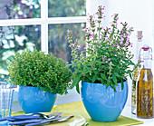 Thymus (Thymian), Salvia (Salbei) in blauen Übertöpfen auf der Fensterbank