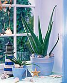 Aloe vera (Echte Aloe) in hellblauen Übertöpfen auf der Fensterbank