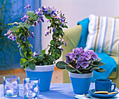 Shin Yong Wasser: Clerodendron ugandense, Saintpaulia (Usambaraveilchen)