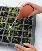Frisch pikierte Carex umbrosa (Schattensegge) mit Brauseballon ansprühen