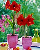 Hippeastrum (Amaryllis, rot) in rosa Übertöpfen, Obst auf dem Tisch