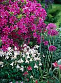 Rhododendron 'Kermesina' (Japanische Azalee)