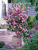 Camellia 'Spring Festival' (Kamelie) im beigen Kübel