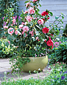 Camellia (Kamelie) rot und rosa-rot geflammt in Schale