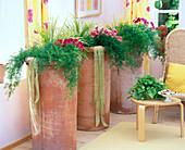 Große Tontöpfe bepflanzt mit Asparagus densiflorus 'Sprengeri'