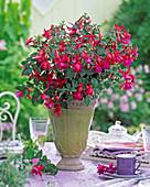 Fuchsia 'Beacon rot-blau' (Fuchsie)
