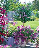 Duranta repens (Himmelsblüte) Stämmchen unterpflanzt