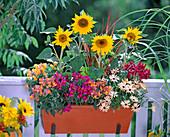 Oranger Metallkasten mit Helianthus (Sonnenblumen)