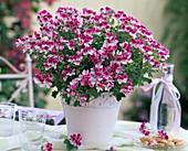 Pelargonium Angeleyes 'Bicolor' (Engelsgeranie)