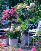 Rosa 'Medley Soft Pink' 'Isarperle' 'Ambiente' (Rosenstämme , Edelrose