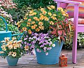 Osteospermum 'Orange Mini' (Kapkörbchen)