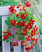 Tropaeolum 'Jewel Sherry Rose' (Kapuzinerkresse)