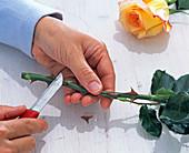 Stacheln von Rosa (Rose) mit Messer entfernen