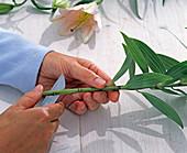 Stiel von Lilium (Lilie) mit Messer sehr schräg anschneiden