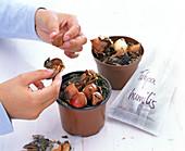 Zwiebeln von Tulipa humilis (Wildtulpen) aus dem Topf nehmen und lagern