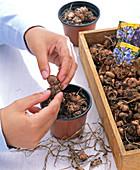 Zwiebeln von Crocus vernus (Frühlingskrokussen) aus dem Topf nehmen und lagern