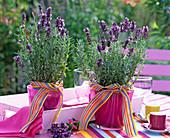 Lavandula 'Hidcote Blue' (Lavendel) in pinken Töpfen