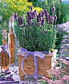 Lavandula 'Hidcote Blue' (Lavendel) in viereckigem Terrakottatopf