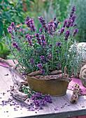 Lavandula 'Hidcote Blue' (Lavendel) in Blechjardiniere und geschnitten