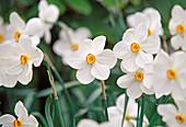 Narcissus poeticus 'Actaea' (Dichternarzissen)