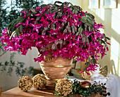 Schlumbergera (Weihnachtskaktus) mit pinken Blüten